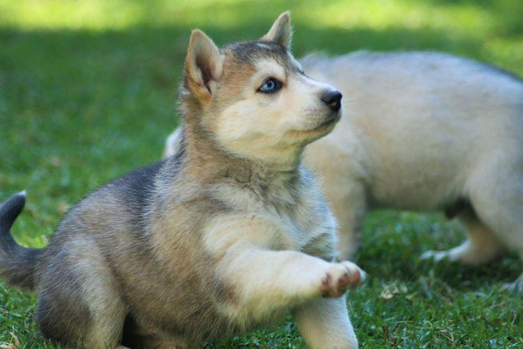 Close-Up Of Husky Puppy