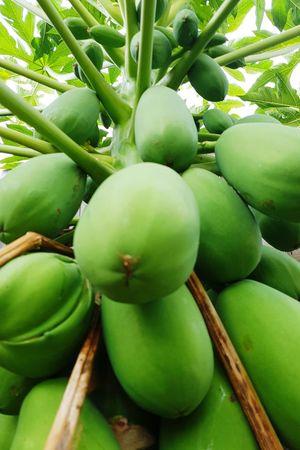 Fruit Green Color Food Freshness Tree Healthy Eating Nature No People Growth Food And Drink Close-up Outdoors Beauty In Nature Day Papaya Papaya Tree Papayas PawPaw
