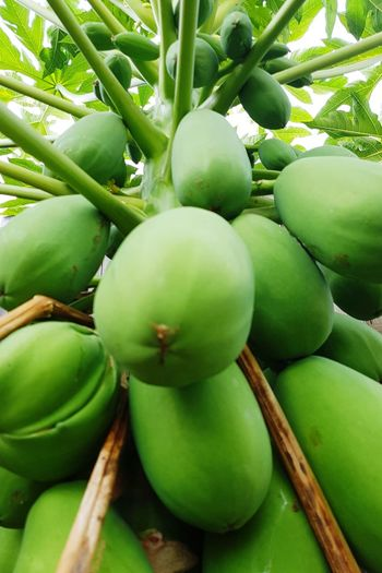 Fruit Green Color Food Freshness Tree Healthy Eating Nature No People Growth Food And Drink Close-up Outdoors Beauty In Nature Day Papaya Papaya Tree Papayas PawPaw