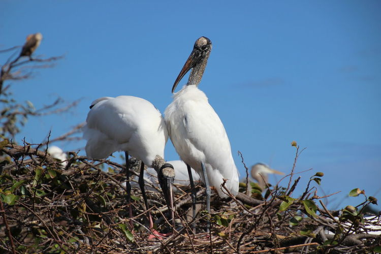 Animal Themes Clear Sky Close-up Nature No People Outdoors White Color Wood Storks