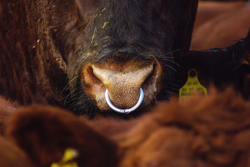 Animal Animal Body Part Animal Head  Animal Nose Animal Themes Animals Brown Bull Close-up Cow Domestic Animals Extreme Close-up Herbivorous Loyalty Mammal No People Nose One Animal Pets Piercing Ring Selective Focus Snout Maximum Closeness Pet Portraits