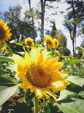 🌻 Sky Plant Sunflower In Bloom Botany Summer Exploratorium