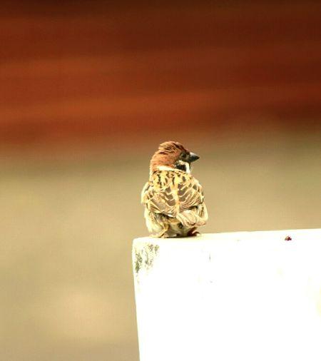 Passer montanus One Animal Beauty In Nature