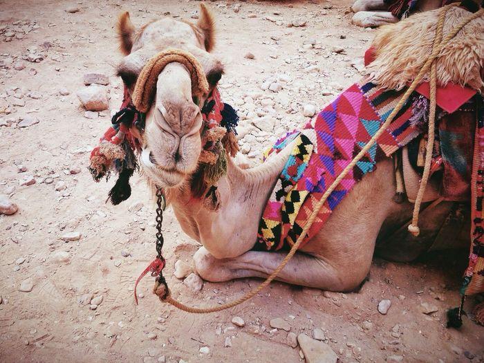 Portrait of camel relaxing on field