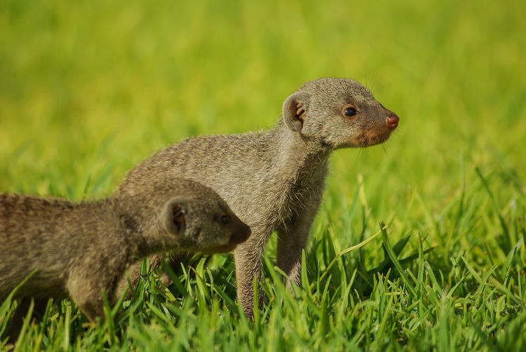 Young mongoose in green gras Children Grass Namibia NamibiaPhotography Standing Alertness Animal Cubs Couriosity Cub Cute Animals Green Colour Green Grass Mongoose Omaheke Small Animals Southern Africa Strong Colour Wildlife Young Animals Youngsters