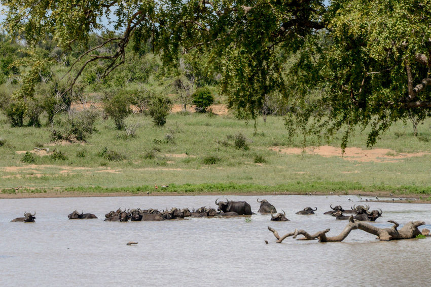 Safari in Kruger National Park, South Africa. Buffalo Kruger Park National Park South Africa Water Buffalo Wildlife & Nature Africa Animal Themes Animal Wildlife Animals In The Wild Day Kruger Krugernationalpark Krugerpark Nature Outdoors Safari Safari Animals