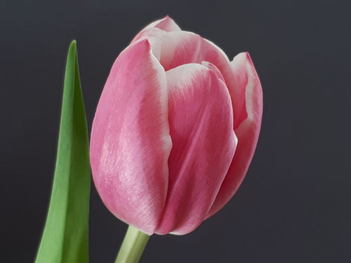 Tulpe in Rosa