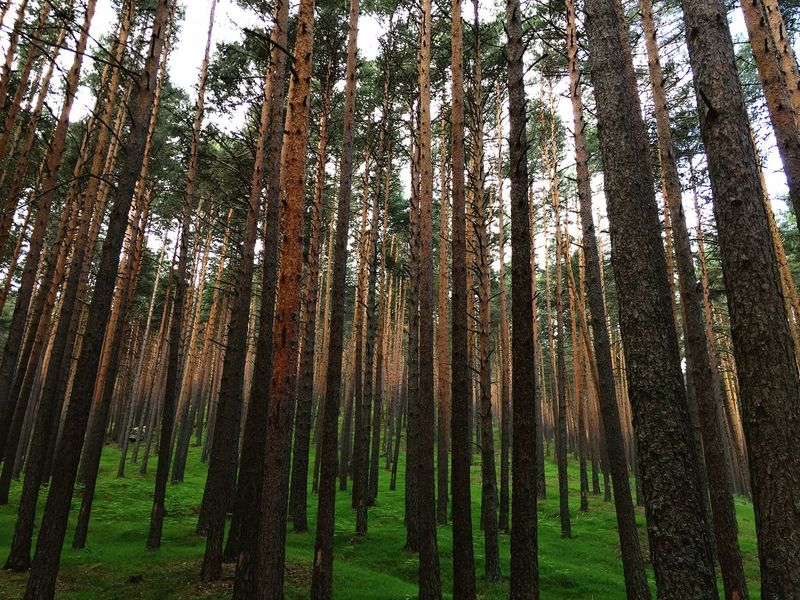 Tree Nature Tree Trunk Forest Pinaceae Pine Tree Beauty In Nature Tranquility WoodLand Landscape Outdoors No People Tranquil Scene Growth Scenics Day Tree Area Lush - Description Grass