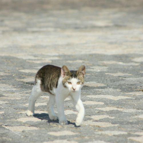 ๑•̀ㅁ•́ฅ✧にゃ!! 自由猫キジシロ 猫 のらねこ部 Stray Cat Cats Of EyeEm Cat♡ Cat Cat Watching Playing With The Animals EyeEm Best Shots ファインダー越しの私の世界 ファインダーは私のキャンパス 野良猫