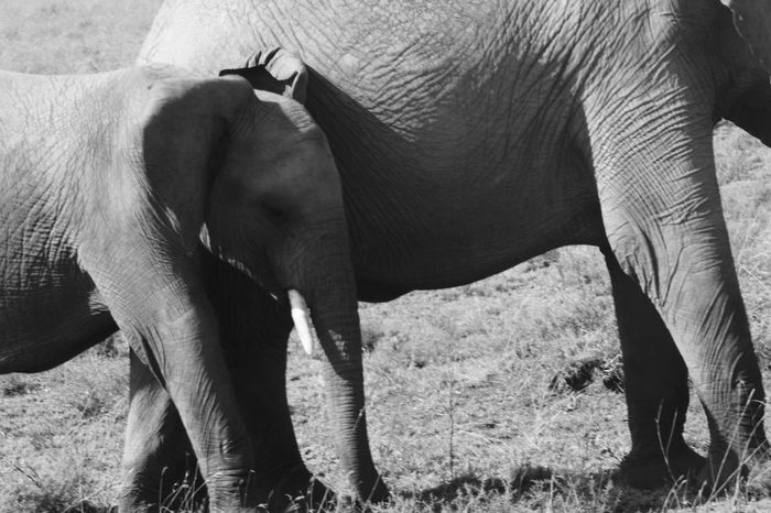 Africa African Elephants Animal Themes Baby Elephant Beauty In Nature Black And White Elephants Monochrome Mother And Baby Elephant Outdoors Serengeti Serengeti National Park Standing Togetherness Trunk Two Elephants Vertebrate