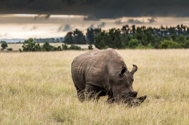Rhinoceros 🦏 Safari Beauty In Nature African Wildlife South Africa Africa Safari Animals Rhinoceros Rhino Nashorn Animal Themes Animal Mammal Animals In The Wild Animal Wildlife One Animal Land Field No People Focus On Foreground Herbivorous Landscape Sunlight