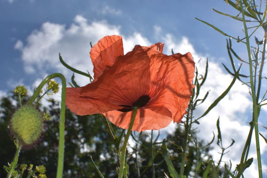 No Edits No Filters Flanders Poppy Klatschmohn Growth Nature Flower Petal Plant Beauty In Nature Day Outdoors Fragility No People Low Angle View Leaf Focus On Foreground Flower Head Sky Close-up Freshness Blooming Day Lily