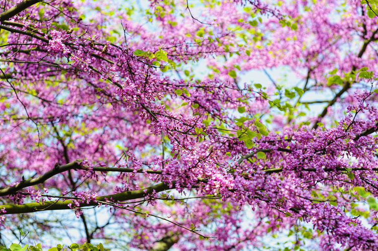 Tree with blossoms in spring time Beauty In Nature Blossom Botany Branch Cherry Blossom Cherry Tree Close-up Day Flower Flower Head Flowering Plant Focus On Foreground Fragility Freshness Growth Low Angle View Nature No People Outdoors Pink Color Plant Purple Springtime Tree Vulnerability
