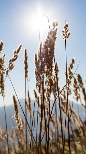 Plant Growth Sky Nature Focus On Foreground Sunlight Tranquility Beauty In Nature Close-up Day No People Low Angle View Plant Stem Flower Freshness Outdoors Grass Stalk Flowering Plant Sun Timothy Grass Brightly Lit Backgrounds