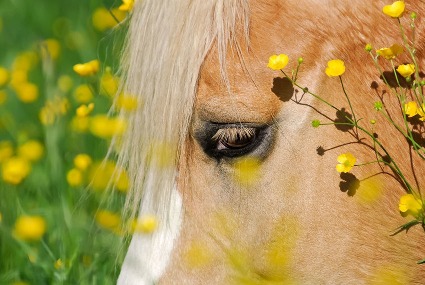 Haflinger horse, closeup of the head and eye with buttercup flowers Blond Chestnut Horse Animal Themes Avelignese Buttercup Flower Close-up Crowflower Crowfoots Day Eye Eyelash Flower Flower Head Haffie Haflinger Haflinger Horse Headshot Horse Horse Photography  Mammal Meadow Flowers Nature Outdoors Pony Portrait Yellow