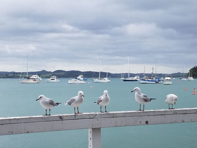 Before the Storm Bay Of Islands Russell New Zealand. Seabirds Blue Ocean Bird Flamingo Water Perching Nautical Vessel Harbor Sailing Ship Yacht Seagull Moored Horizon Over Water Boat Sailboat
