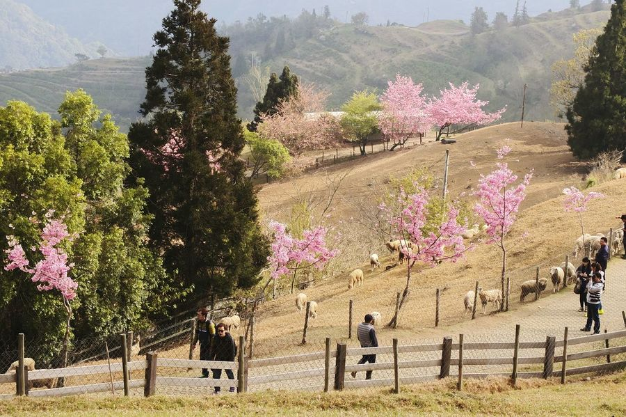 Holiday Taiwan Travel Nature EyeEm Nature Lover LandscapeTravel Photography Fuji X10 People Sheep Sheep Farm Sakura Sakura Blossom Sakura☆cherry Blossam Sheep Ranch