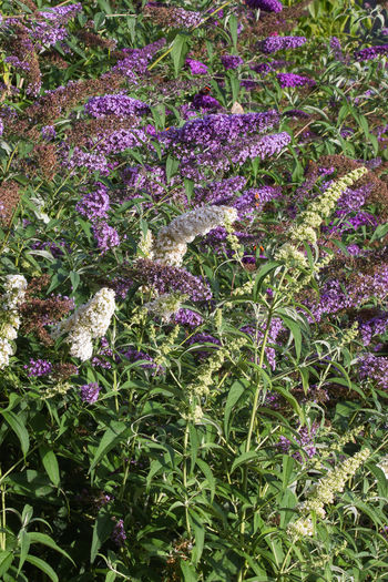 Summer lilac, flower August Buddleja Davidii Green Color Beauty In Nature Bush Butterfly Bush Day Flora Flower Fragility Freshness Growth Leaf Nature Outdoors Plant Purple Summer Lilac Upright Format White Color