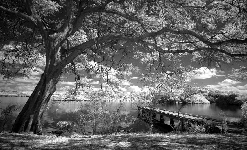 West loch Pearl Harbor in infrared Beauty In Nature Branch Day Growth Infrared Nature No People Outdoors Pearl Harbor Pier River Scenics Sky Tranquil Scene Tranquility Tree Tree Trunk Walking Around Water West Lake West Loc
