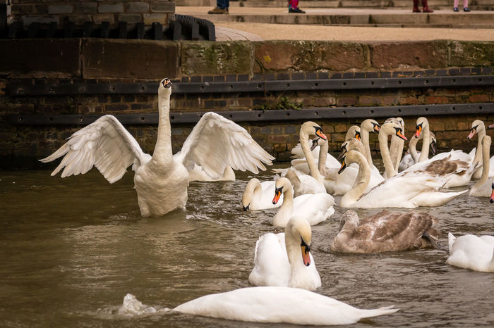 Animal Themes Animals In The Wild Balance Beak Bird Flapping Freeze Frame One Animal Relaxing River Riverside Side View Stratford-upon-Avon Swan Swimming Togetherness Two Animals Water Wildlife Wing Wings Wings Open Zoology