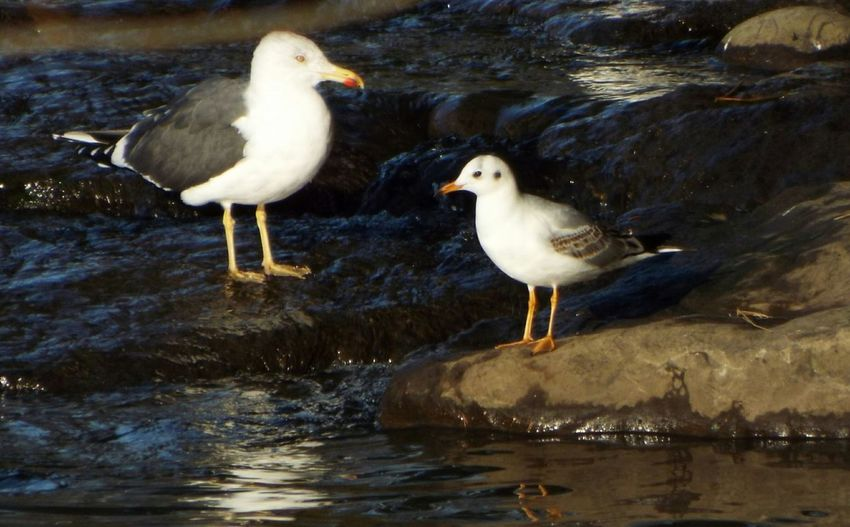 Gull Birds