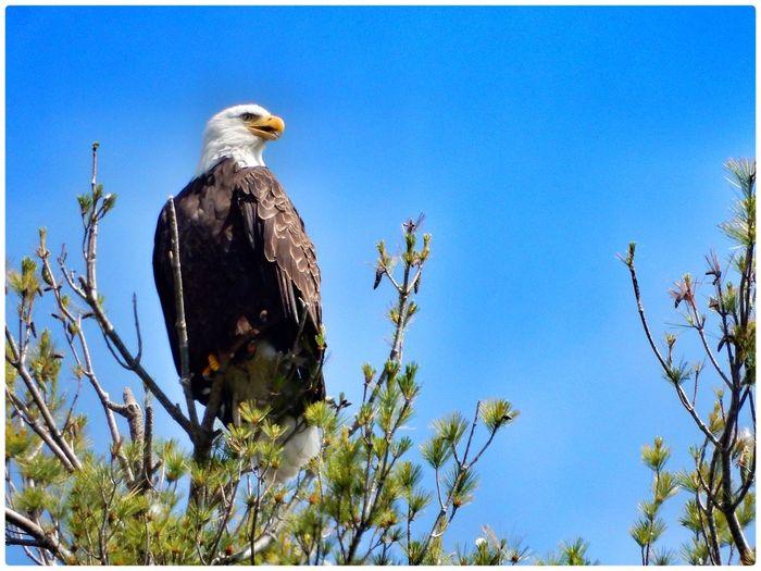 Bald eagle on the lake that I live on today... Bald Eagle Birds Bird Photography Nature EyeEm Nature Lover Lake Beautiful Nature TreePorn Outdoors EyeEm Best Shots