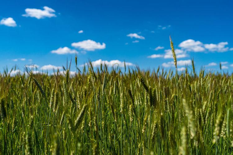View of stalks in field against blue sky