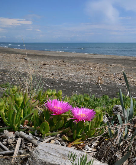 carpobrotus flowers on the sandy beach in the southern coast of Tuscany Outdoors Flower Head Freshness Flower Beauty In Nature Sea Water Horizon Over Water Scenics - Nature Flowering Plant Beach Horizon Sky Plant No People Carpobrotus Edulis Pink Color Pink Flower Sandy Beach Mediterranean  Italy Tuscany Nature EyeEm Nature Lover EyeEm Gallery EyeEmNewHere EyeEm Best Edits