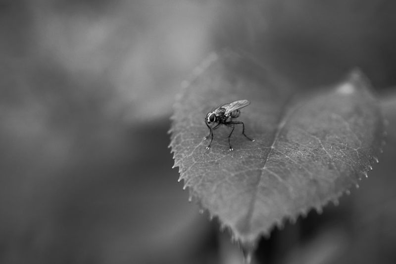 Black And White Blackandwhite Invertebrate Animal Themes Insect Animal Animal Wildlife One Animal Animals In The Wild Housefly Focus On Foreground Fly Selective Focus Nature
