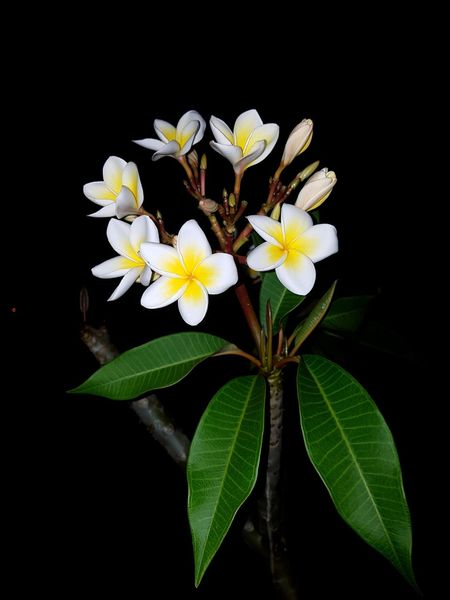 Paint The Town Yellow Frangipani Frangipani Flower Frangipani Flowers Frangipani Tree Yellow Yellow Flower Yellow Color Yellow And Green Flower Flower Head Petal Leaf Beauty In Nature Freshness Fragility Growth Black Background Nature Plant Springtime Close-up No People Day Outdoors