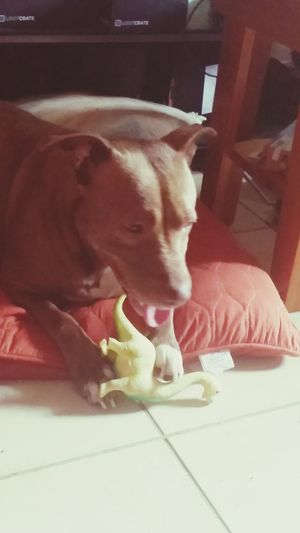 Honey and hee new dinosaur Honey New Toy Dinosaur My Pibble Pitbull Pitbull Lives Matter Rescue Lover Not A Fighter My Baby Girl <3 Pet Photography