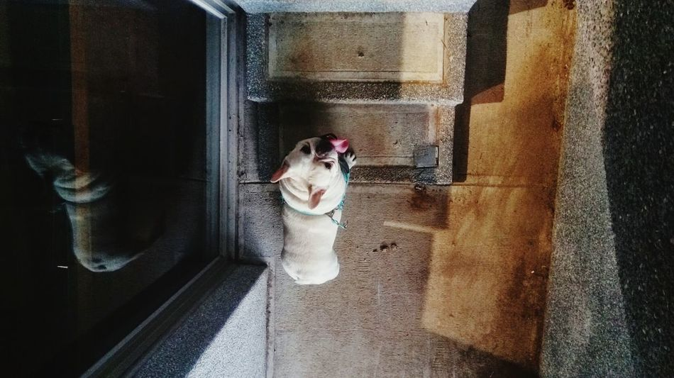 Growing Better Frenchbulldog French Bulldog Dog Hanging Out Dog Life Dog Love Cute Pets Pets Corner View From Above Rethink Things Be. Ready.