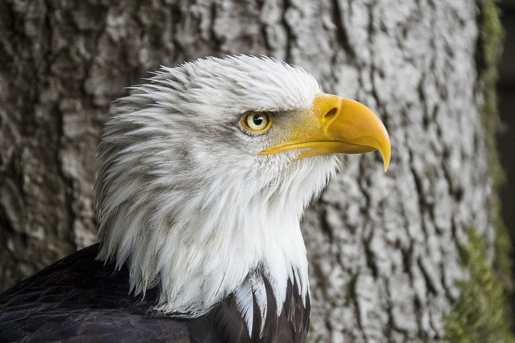 Ader Adler Im Flug Animal Themes Animal Wildlife Animals In The Wild Bird Bird Of Prey Day Eagle Eagle - Bird Fliegen Flug Focus On Foreground Nature No People One Animal Outdoors Raubvogel Vertebrate Vogelperspektive Weißkopfseeadler