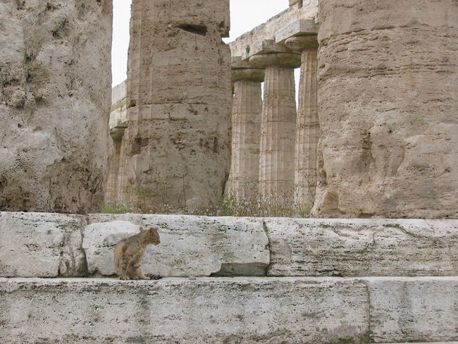 Architecture Built Structure Day Domestic Animals Kate Magna Grecia No People One Animal Archeological parc Paestum Italy
