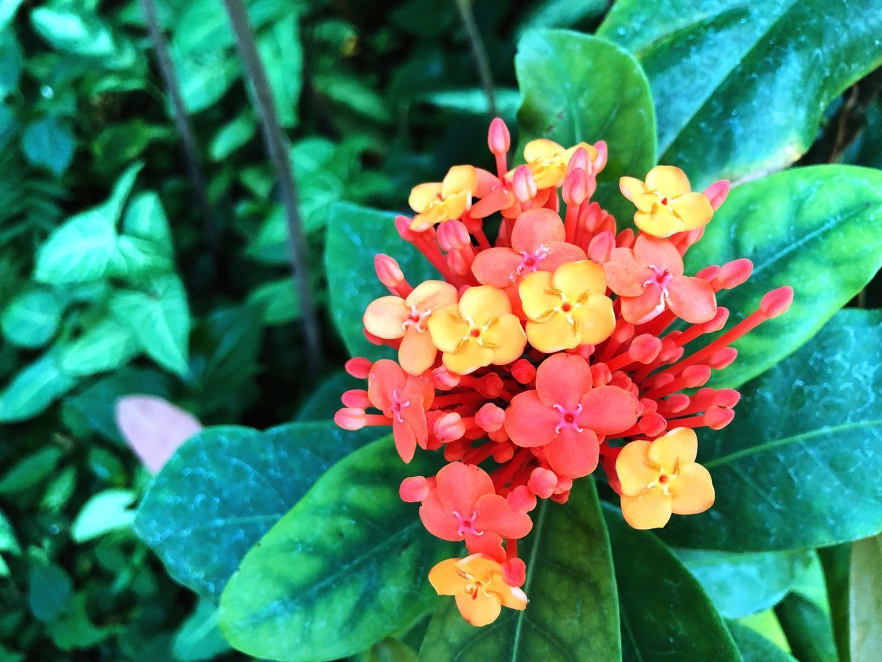 flowering plant, flower, beauty in nature, vulnerability, petal, fragility, freshness, plant, plant part, leaf, growth, close-up, flower head, inflorescence, nature, day, no people, focus on foreground, green color, outdoors, lantana