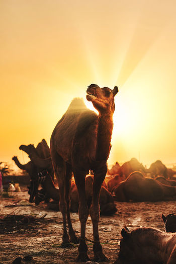 Low angle view of a camel against sunny sky in golden hours
