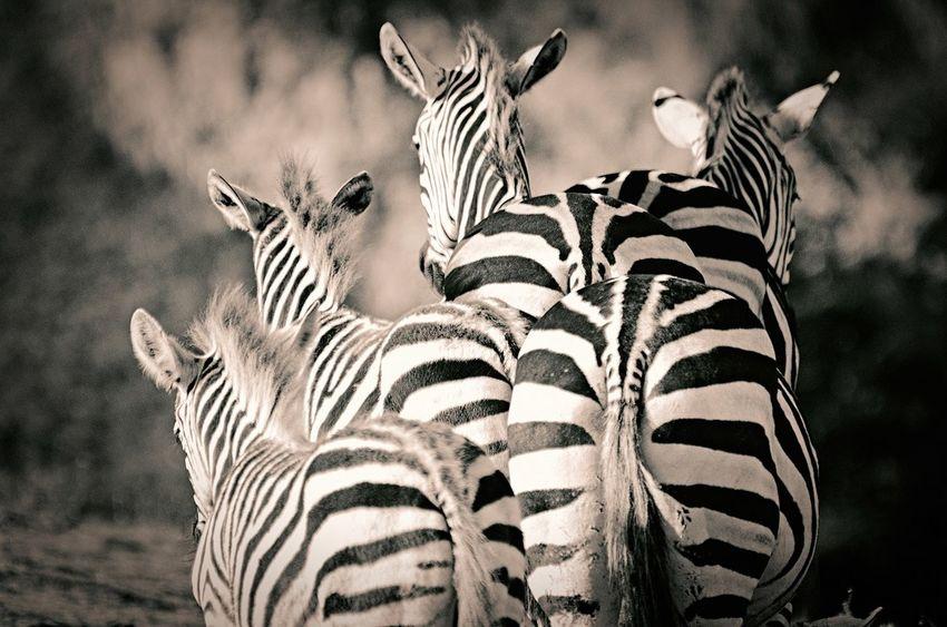 Animal_collection Animals Animal Photography Monochrome Art Zebra I LOVE PHOTOGRAPHY Emotions Popular Photos EyeEm Best Shots