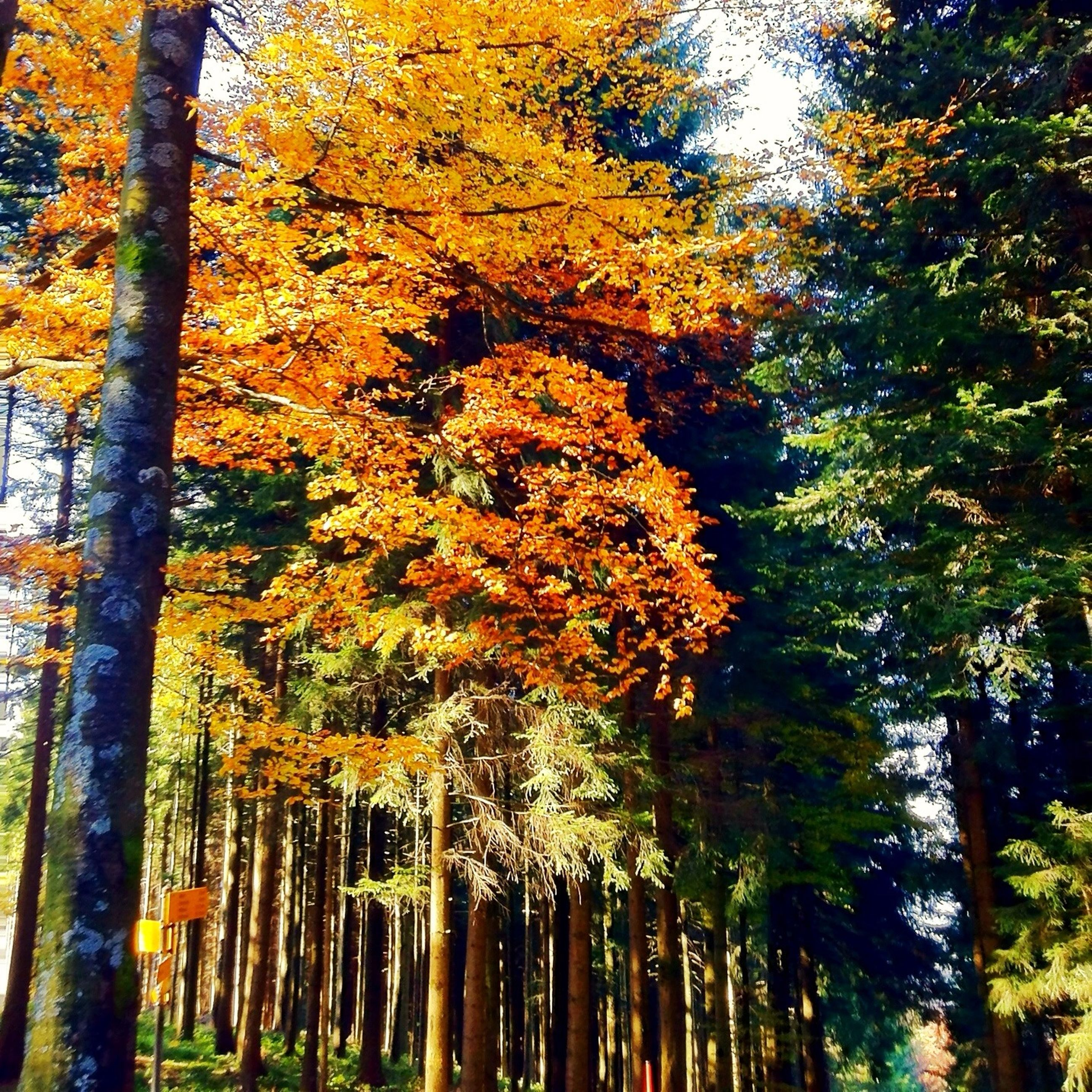 tree, autumn, change, season, growth, branch, tranquility, beauty in nature, tree trunk, nature, tranquil scene, forest, scenics, orange color, woodland, low angle view, yellow, outdoors, park - man made space, idyllic