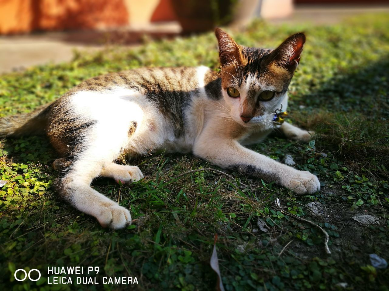pets, domestic animals, animal themes, domestic cat, one animal, mammal, feline, lying down, grass, day, outdoors, no people, close-up, nature