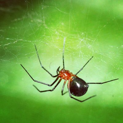Merah perut buncit. Spider Spiderworld Ig_spiders Ig_spider macrophotography tgif_macro alalamiya_macro instagaruda_macro labalaba