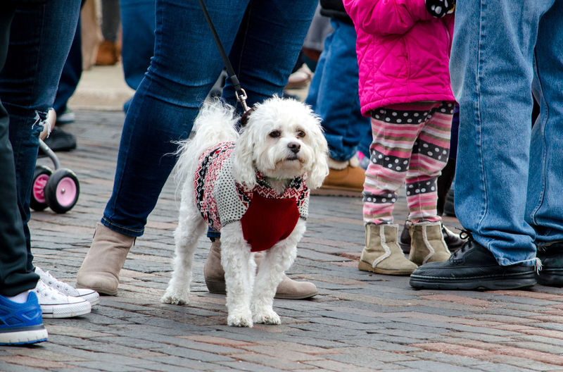 maltese terrier wearing a festive holiday sweater, waits for the parade to start in st joseph mi usa