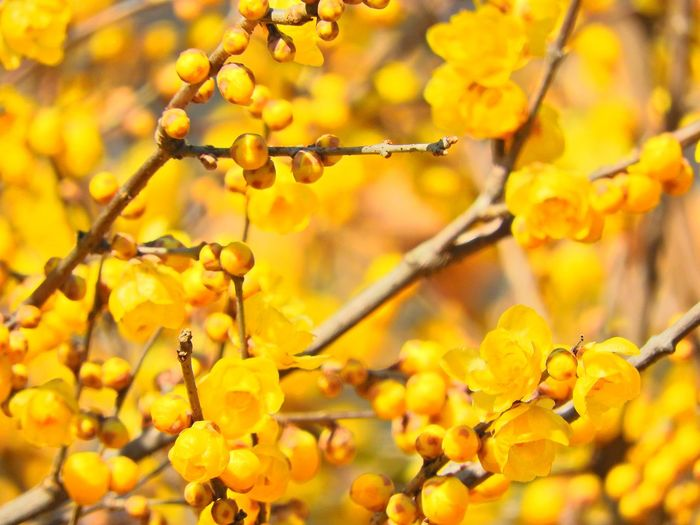 Close-Up Of Yellow Flowers On Tree