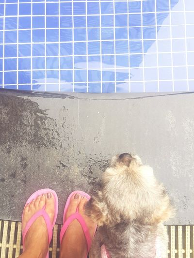 Standing Day Outdoors Pet Owner Pet Shih Tzu Swimming Pool Water