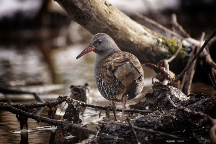Showcase February 2018 Niklas Februari 2018 Water Rail Bird Animals In The Wild Animal Wildlife One Animal Animal Themes No People Water Nature Perching Outdoors Day Close-up