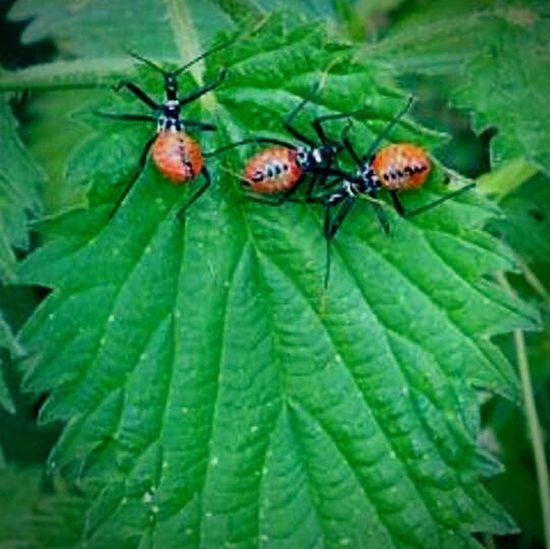 Three Red Assassin Bugs on a Leaf Assassin Bug Leaf Red Bugs. EyeEm Nature Lover In The Forest EyeEm New Jersey Smartphone Photography EyeEm Best Shots EyeEm Gallery EyeEm