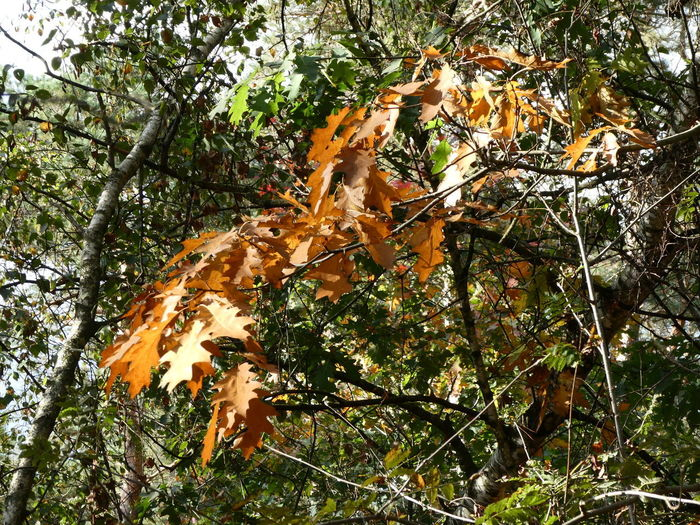 Close-up of maple leaves on tree in forest