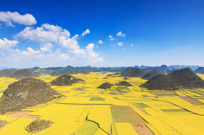 Rapeseed flowers of Luoping in Yunnan China ASIA Beauty In Nature Bees Blue China Cloud Honey HoneyBee Landscape Luoping Minority Mountain Mountain Range Nature Rapeseed Rapeseed Blossom Rapeseed Field Scenics Sky Tradition Tranquil Scene Tranquility Yellow Yunnan Yunnan ,China