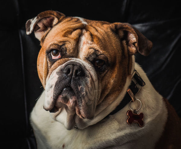Animal Head  Animal Themes Natural Light Portrait Bulldog Bulldog Eyes Bulldogs Comfortable Dog Dogs Domestic Animals English English Bulldog EnglishBulldog Home Indoors  Looking At Camera Pet Portraits One Animal Pet Portrait Pets Portrait Relaxation Sad Eyes Showcase: February Wrinkles