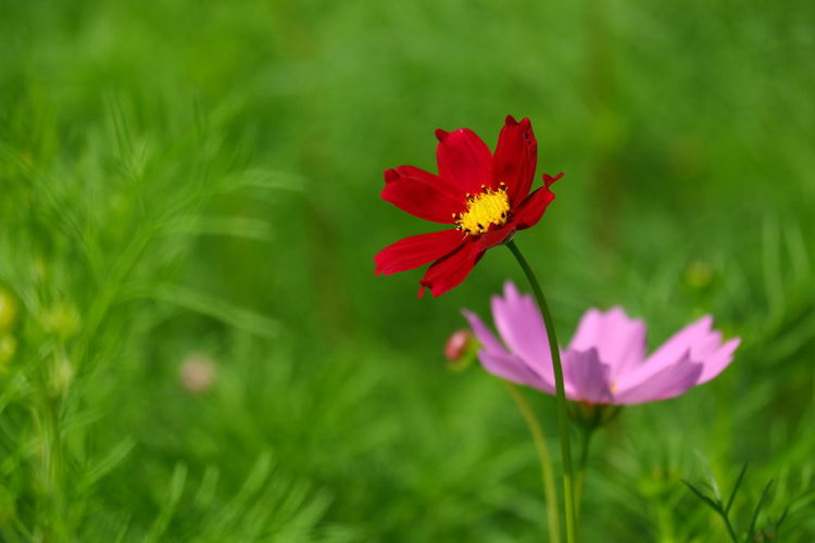 Close-up of red flower on field