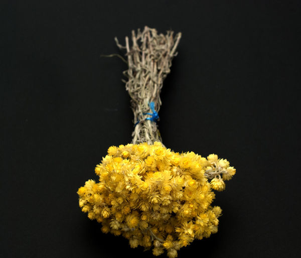 Helichrysum italicum Helichrysum Italicum Black Background Bunch Close-up Curry Plant Curryplant Flower Flower Head Flowering Plant Fragility Freshness Indoors  Knot Nature No People Plant Still Life Strawflower Studio Shot Vulnerability  Yellow